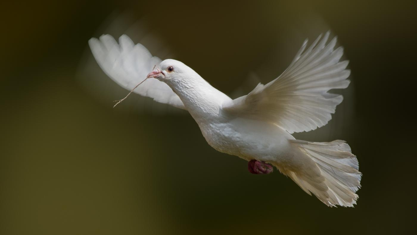 white-doves-symbolize_c36f0008c624e46f