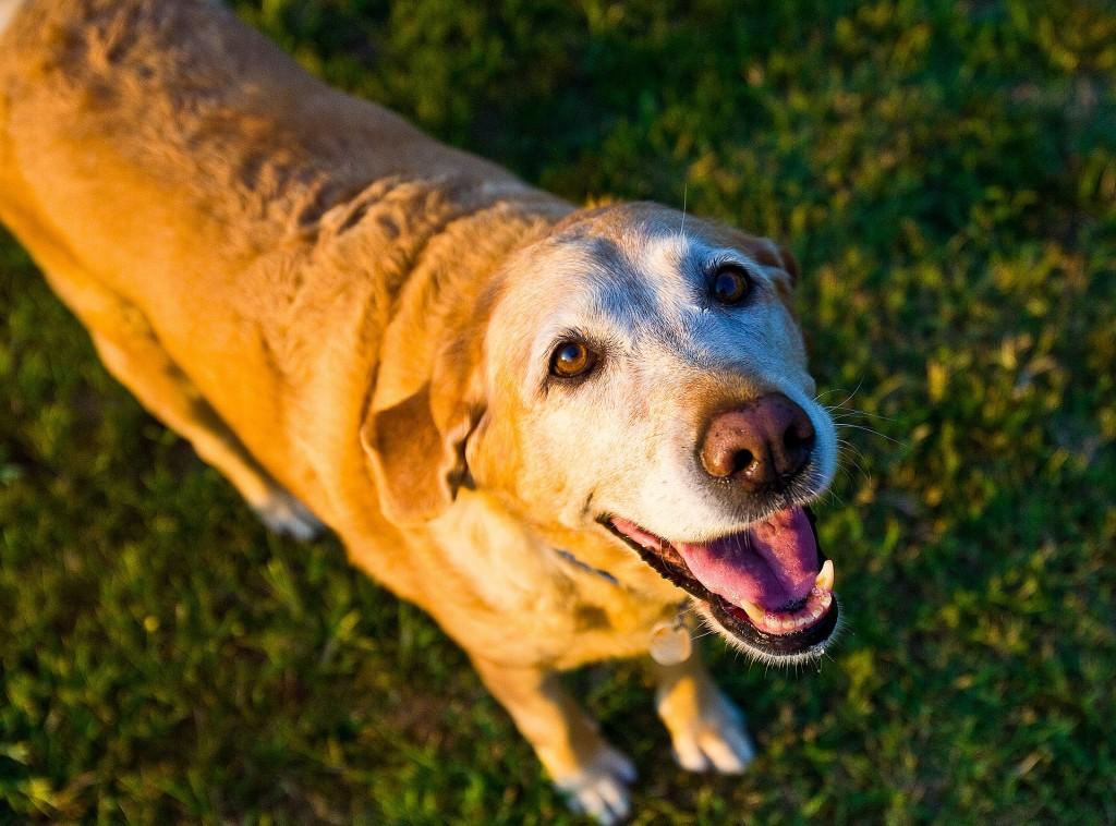 old-dog-1582205_1920